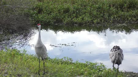 sandhill crane : Couple of Sandhill Cranes dancing