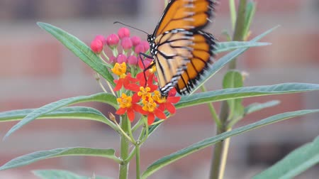 monarca : Monarch butterfly feeds on Milkweed Plant