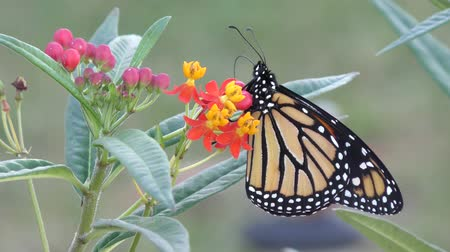 owady : Monarch butterfly feeds on Milkweed Plant