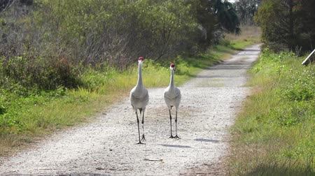 sandhill crane : Sandhill Cranes walking on a rural road