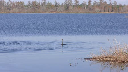 рыболовство : birds fishing in Florida lake Стоковые видеозаписи