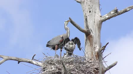 small heron : Great Blue Heron in the nest with its chicks Stock Footage