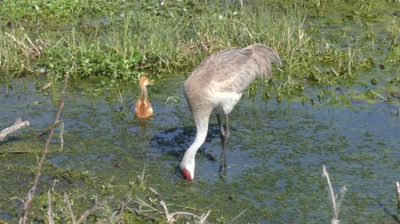 sandhill crane : sandhill crane with its chick in Florida swamp