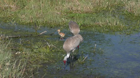 sandhill crane : sandhill cranes with a chick in Florida swamp