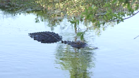crocodilo : large American alligator swims in florida wetlands
