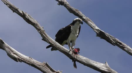 poleiro : osprey feeds on fish
