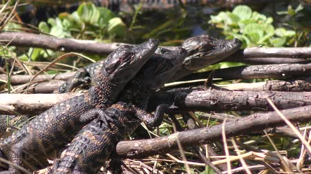 jacaré : baby alligators sunning on a bank