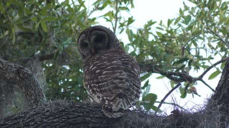 окунь : Barred Owl on a tree Стоковые видеозаписи