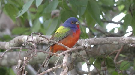 ave canora : painted bunting male on a branch Stock Footage