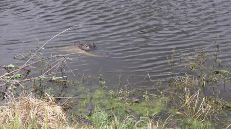 marsh : alligator with her babies Stock Footage