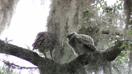 sowa : Barred Owls feed on a branch
