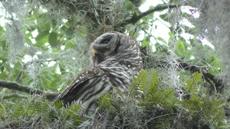 buho : Barred Owl encaramado en una rama Archivo de Video