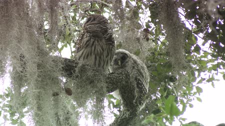 sowa : Barred Owl with its owlet