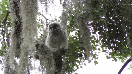 mohás : Baby Barred Owl on a branch Stock mozgókép