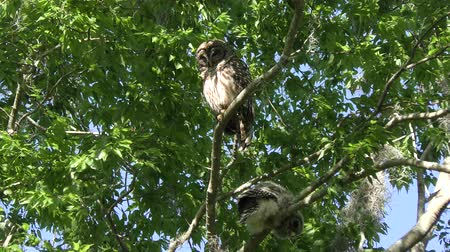 sowa : Barred Owl with its owlet on a tree