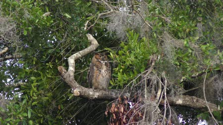 poleiro : Great Horned Owl perches
