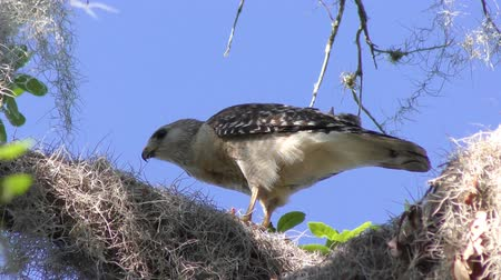 toad : Red-Shouldered Hawk eats its prey
