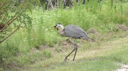 volavka : great blue heron with a fish near Florida pond