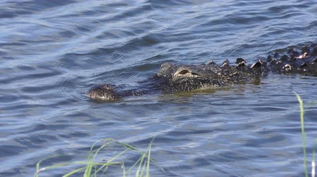 crocodilo : large alligator swims in a lake