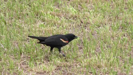 grasshopper : Male Red-winged Blackbird eats a grasshopper Stock Footage