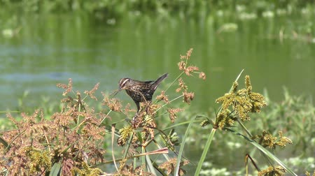 alado : Red-Winged Blackbird female with some nesting material