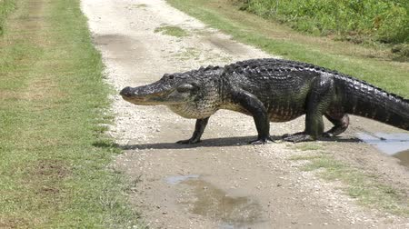 large alligator crossing rural road Стоковые видеозаписи