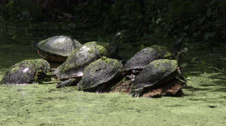 Florida turtles sunning in a swamp