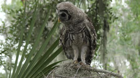 sowa : young barred owl looking around