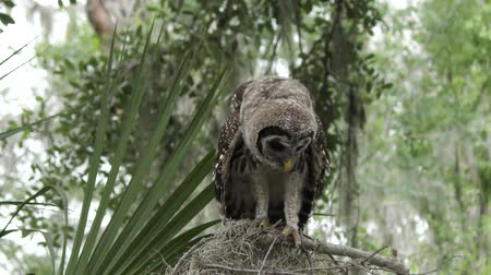 éretlen : young barred owl looking around