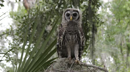 poleiro : young barred owl looks around and flies towards a camera