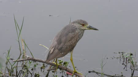 Immature Black-crowned night heron perched near pond Стоковые видеозаписи