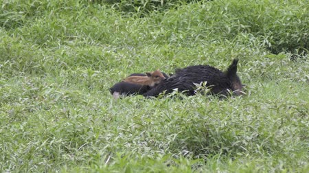kürk : Wild boar mother feeding her piglets in Florida wetlands Stok Video