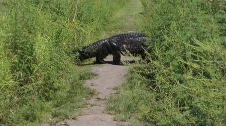 large alligator crossing a narrow park trail Стоковые видеозаписи