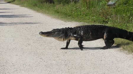 injured after territorial fight alligator crossing a park trail Стоковые видеозаписи