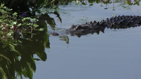 Large alligator swims in Florida lake