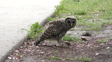 sowa : young barred owl playing with a caterpillar Wideo