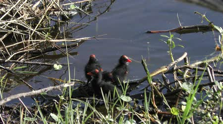 Common Gallinule chicks in wetlands