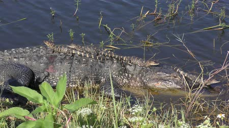 alligator head : Mother Alligator with Babies on her back and head
