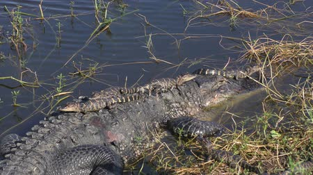 jacaré : Mother Alligator with Babies on her back and head