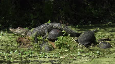 Young alligator sunning with turtles in Florida swamp Стоковые видеозаписи