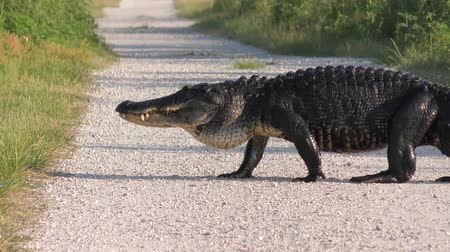 Large alligator crossing a rural road Стоковые видеозаписи