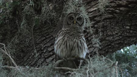 barred owl hooting on a branch