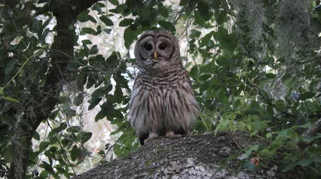 sowa : barred owl hooting in Florida woods and flying away Wideo