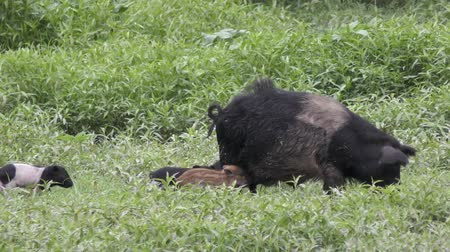 Wild boar mother with her piglets Wideo