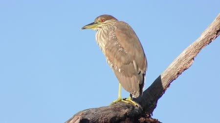 Immature Black-crowned night heron perched