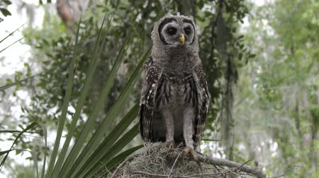 young barred owl looking around in Florida woods Стоковые видеозаписи
