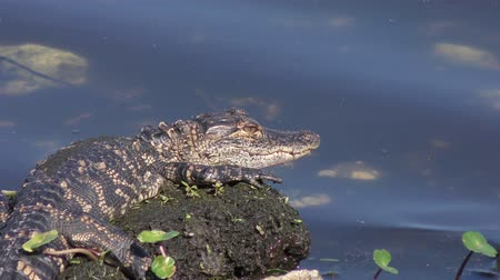 reptile : young alligator sunning near water