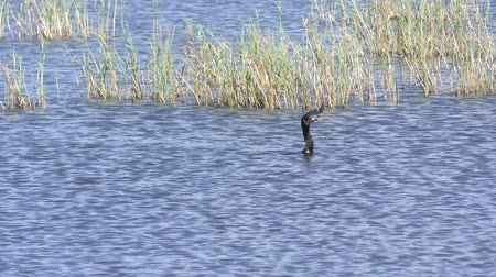 anhinga swallows fish in a lake