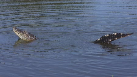 alligator growling during its mating display