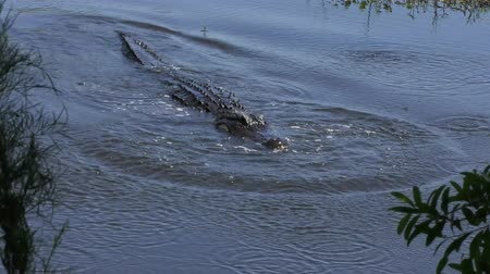 alligator makes splash with its jaw